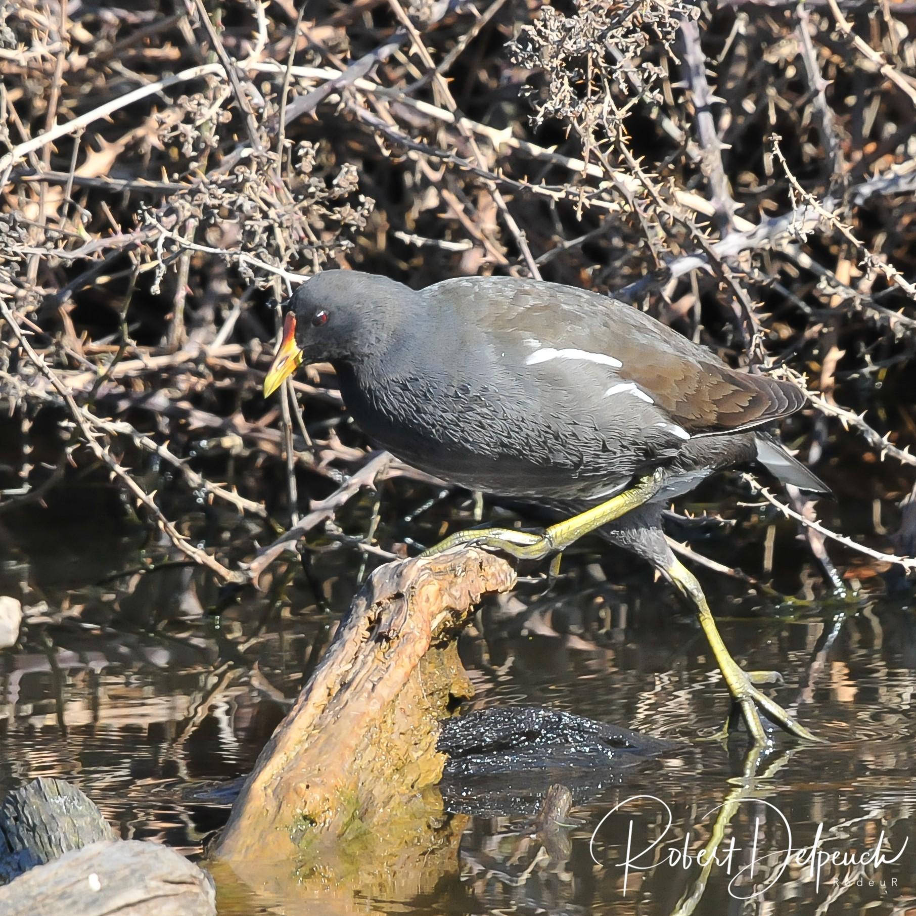 Gallinule poule d'eau, adulte