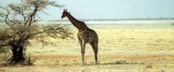 Girafe Angolensis - Etosha