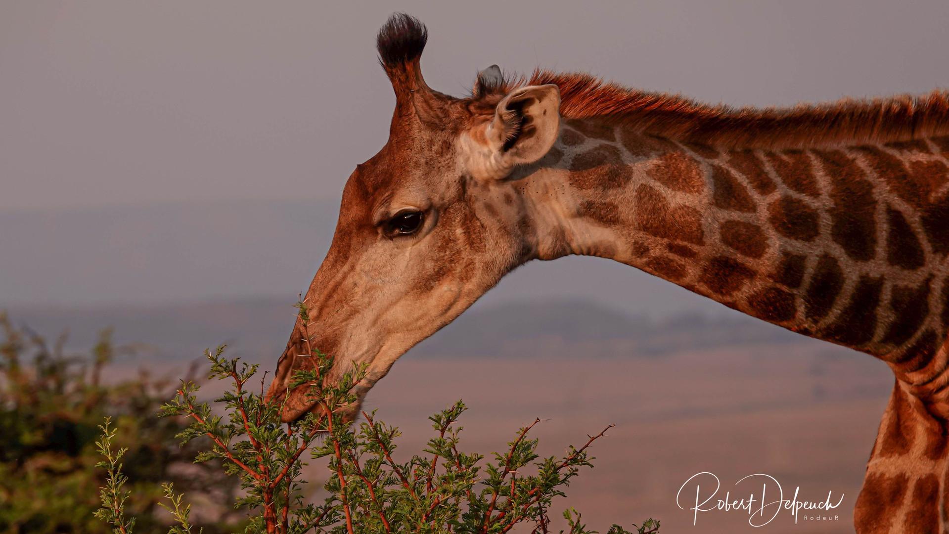 Girafe - Nambiti - RSA
