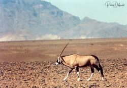 Oryx - Désert du Namib - Sossusvlei
