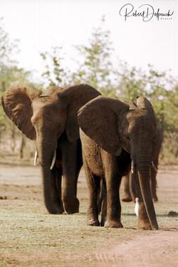 Eléphant d'Afrique - Matussadona
