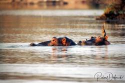 Hippopotame amphibie - Hwange