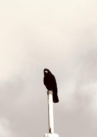 Hammer street crow 4