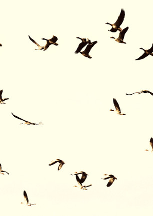 Cranes and wild geese