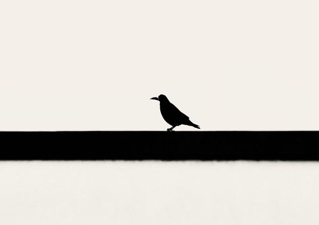 Sitting crow
