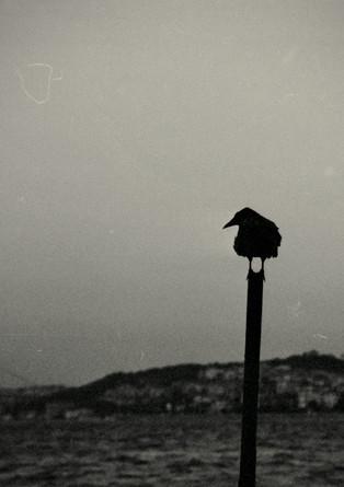 Turkish crow