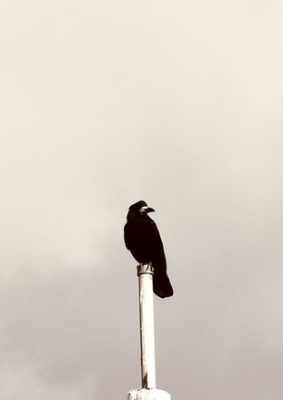 Hammer street crow 5
