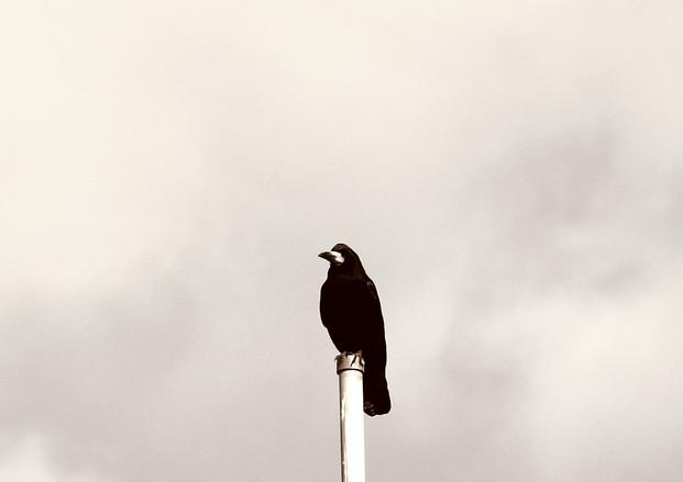 Hammer street crow 3