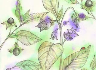 Homeopathic Belladonna for high temperatures, headaches, sore throats heatstroke and sunburn