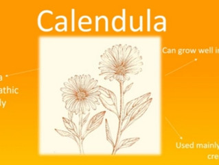 Learn to use Homeopathy for first aid. Calendula is helpful for cuts,scrapes and minor burns.