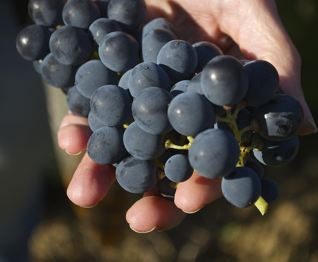 grenache grapes with hand