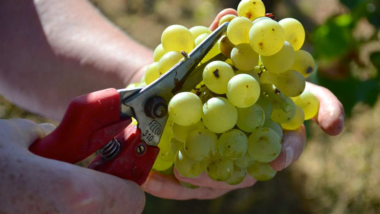 freshly cut chardonnay grapes