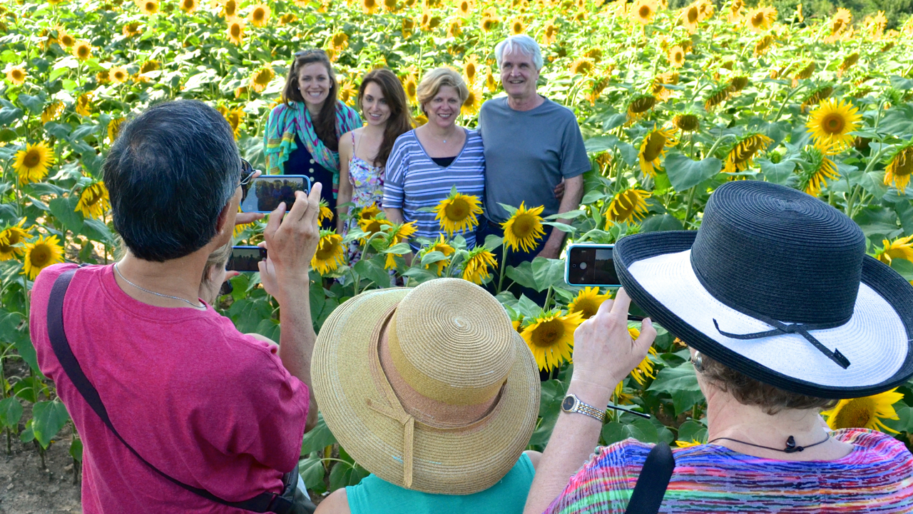 tourists in sunflower field