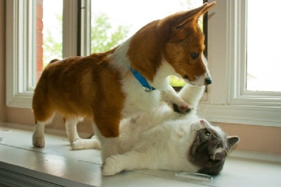 Kitty Cat Corgi Play