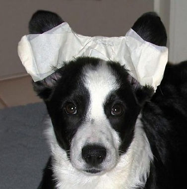 Taping Corgi Ears