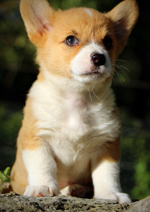 Past Red & White Male Puppy