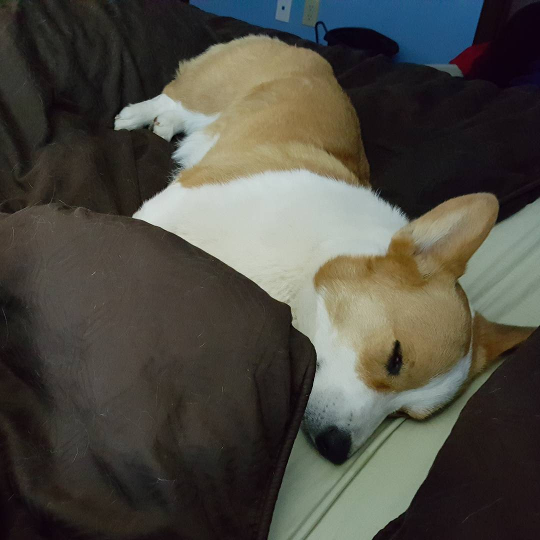 Corgi Nap Time