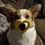 Corgi Love
