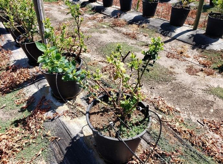 Blueberry trials by Kapicua achieve 18% yield increase