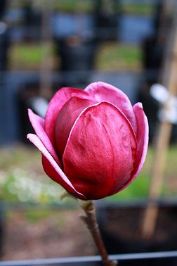Magnolia%20genie%20flower_edited.jpg