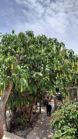 Prächtiger Trompetenbaum