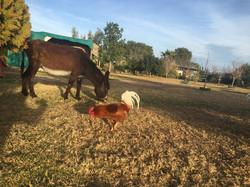Esel und Hahn