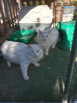 weisse Katzen