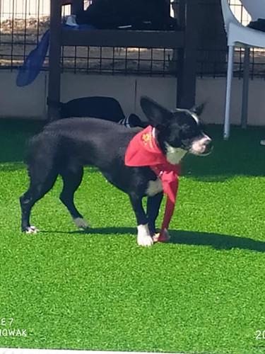 KIRA, ca. 2 Jahre alt, franz. Bulldoggen-Mix
