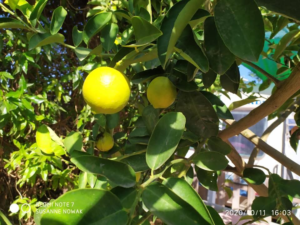 Zitronen sind bald reif.