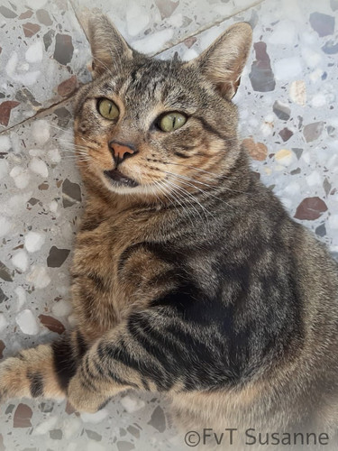 TIGER, ca. 3 Jahre alt