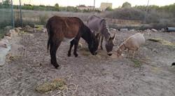 Esel und Ziege beim Abendschmauß