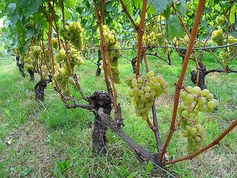 Chardonnay 26082020.JPG