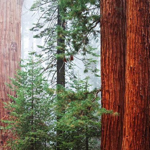 Redwood & Cedar