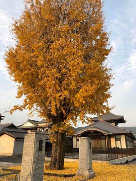 九州北部豪雨を生き延びた万徳寺の大イチョウ