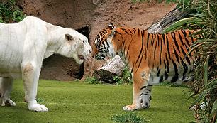 tigers loro park 1.jpg