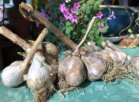 All Hail the Long Haul Garlic!