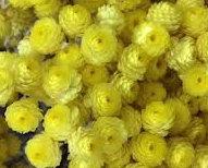 有機蠟菊萃取液 (永久花天然抗菌劑)
