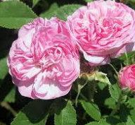 奧圖玫瑰Otto Rose