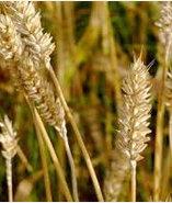 冷壓未精製小麥胚芽油(100ml)