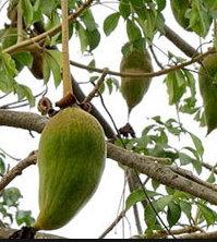 有機猴麵包樹籽油 (30ml)