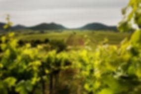 Das Ilbenheimer Rebenmeer, Typische Weinlandschaft in der Pfalz