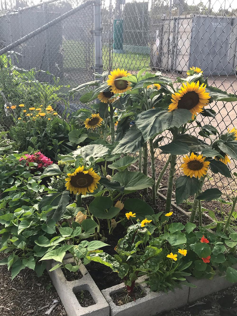 About half a dozen sunflowers stand 3 to 4 feet high in a community garden plot.