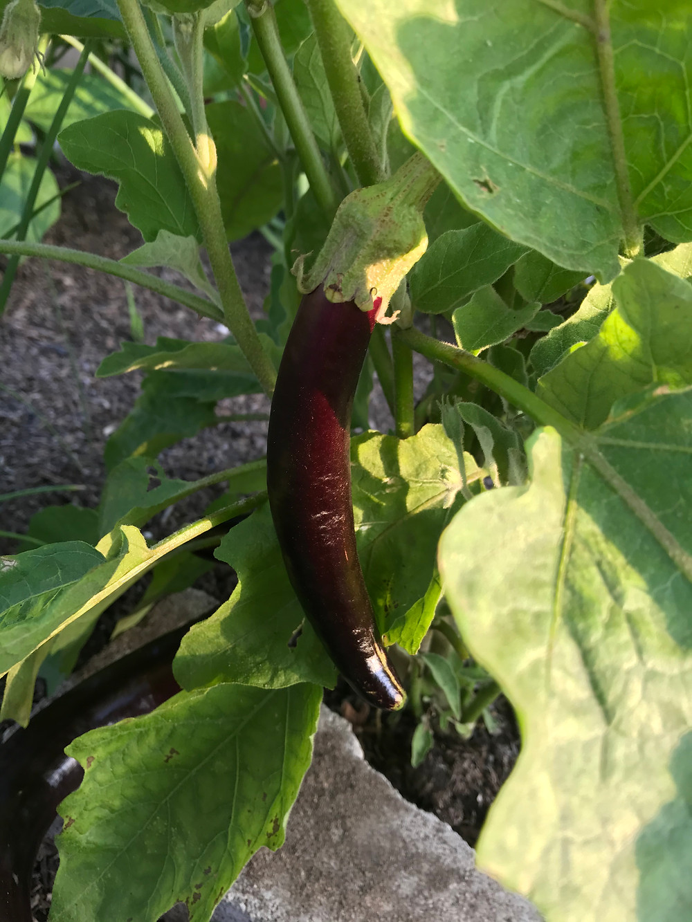 A long, thin, purple Chinese eggplant hangs from a stalk surrounded by green leaves