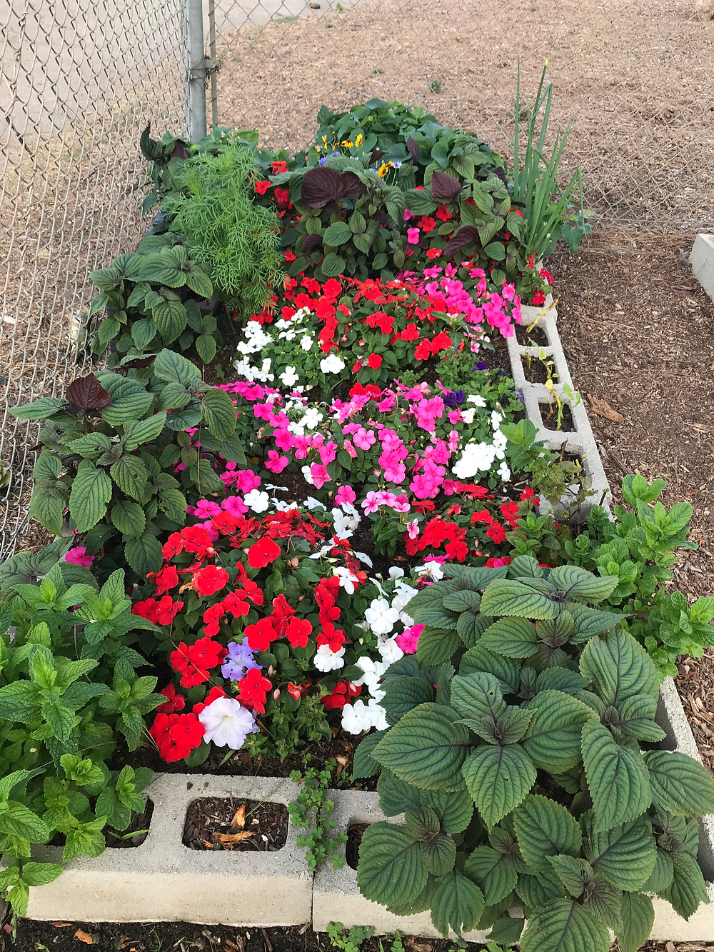 vibrant pink, red, and white flowers in a community garden plot