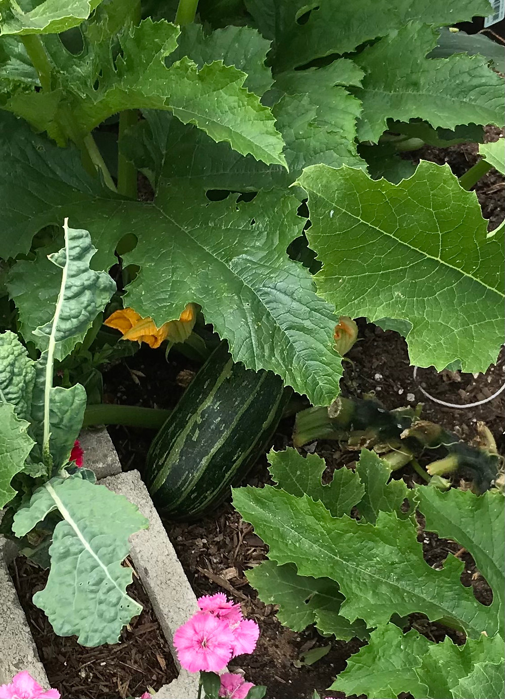 a fat zucchini is barely visible among glossy green leaves in a garden plot