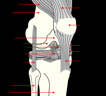 lbeb -Knee_ligaments