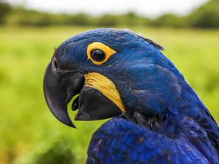 Projeto Arara Azul concorre ao Prêmio Nacional da Biodiversidade