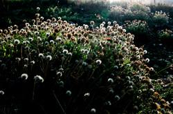 北海岸-菊