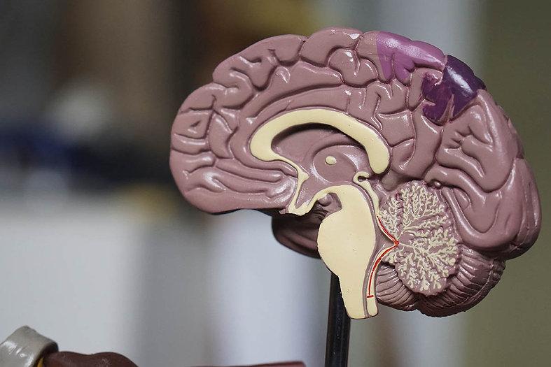 Modelo de plástico de um cérebro pela metade