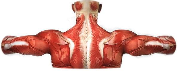 Modelo da musculatura das costas de um homem
